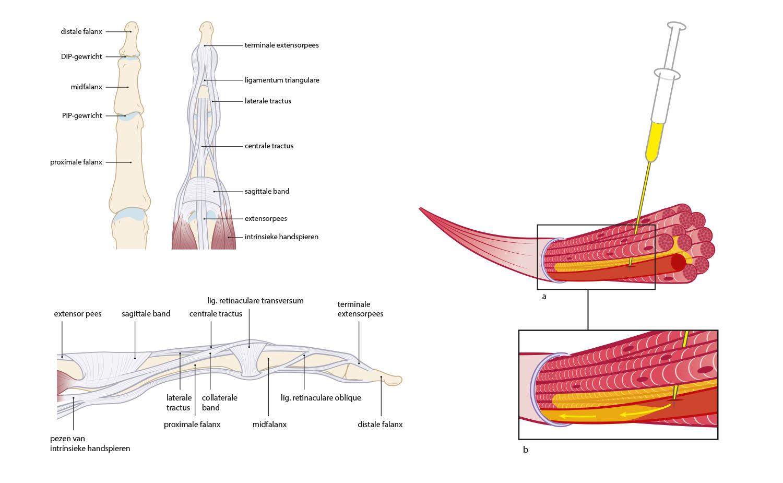 anatomy finger