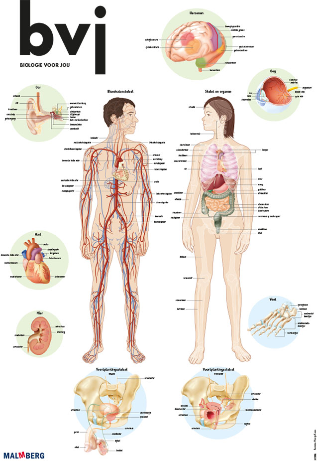 anatomy poster - Medical Visuals