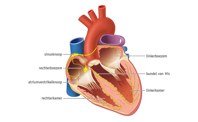heart sagittal