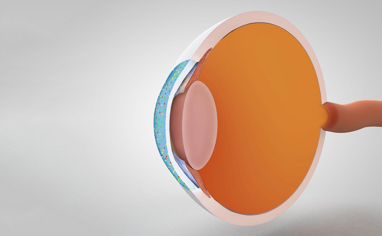 anatomie oog