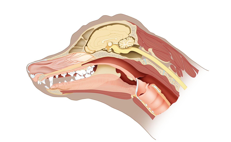 hond sagittaal