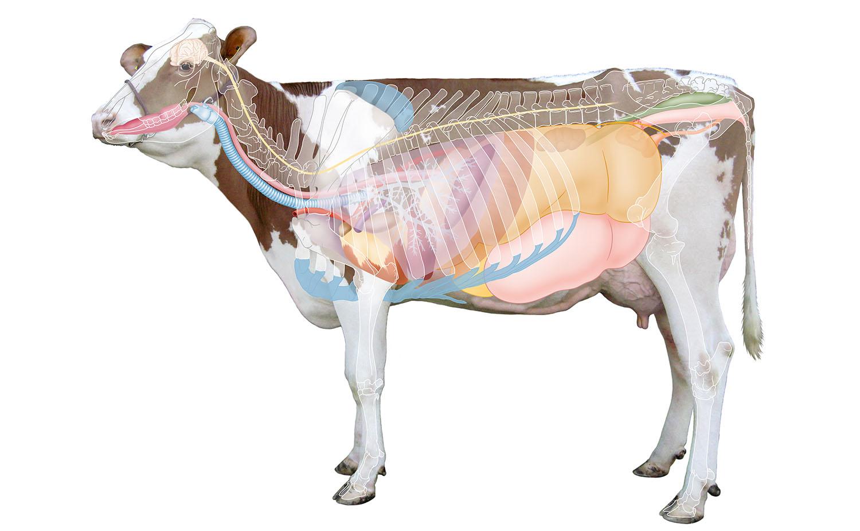 anatomie koe